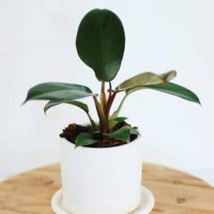 Gurtons-philodendron-300x300[1]