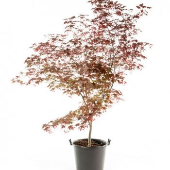 bower-and-branch-japanese-maple-compressor-350x350[1]