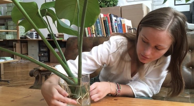How to Propagate and Replant a Monstera